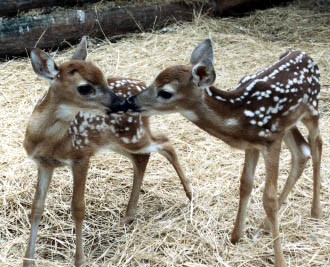 qpanimals / White Tailed Deer - photo#25