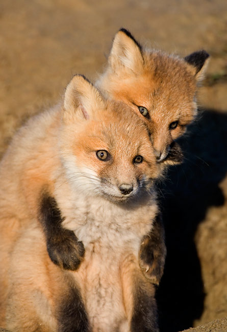 Geek loves geek pictures Red-Fox-pups-playing-_O7F9196-Nome,-Alaska
